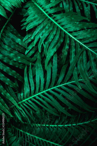 Fototapete - abstract green fern leaf texture, dark blue tone nature background, tropical leaf