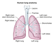 Human Lungs Anatomy, Medically...