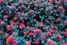 Red Spike Flower Blooming In Garden.,King Ixora,Ixora Chinensis. Rubiaceae , Ixora Coccinea