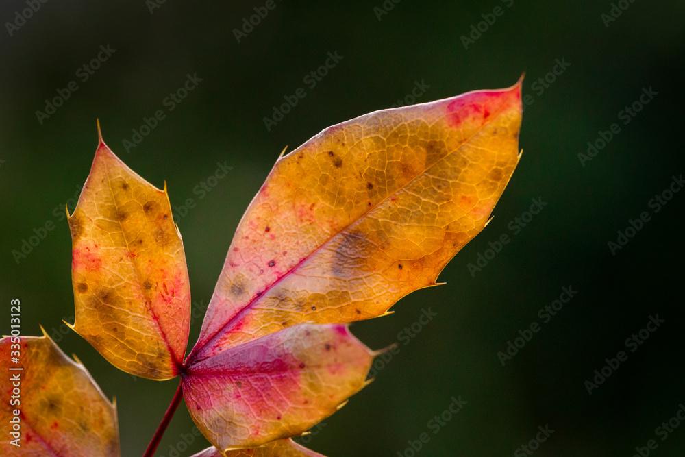 Fototapeta Jesienny liść, leaf