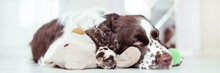 English Springer Spaniel Is Ly...