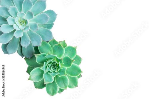 Fényképezés Top view of pastel blue and green echeveria succulent plant on whtie background