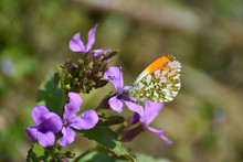 The Orange Tip Butterfly (Anth...