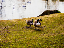 Two Geese On The Grass