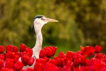 Reiher In Tulpen