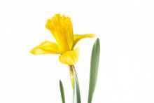Beautiful Yellow Daffodil Close Up On White Background