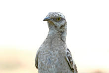 Long-tailed Mockingbird (Mimus Longicaudatus), Portrait Of An Animal Perched On The Lawn Looking For Food.