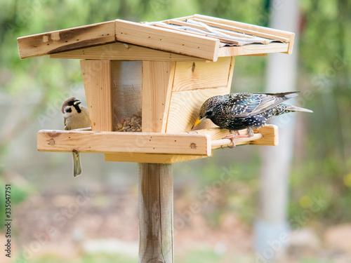 Billede på lærred starling and sparrow on a birdhouse feeder