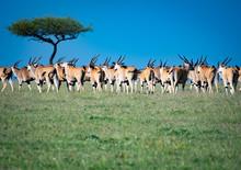 Herd Of Eland Walking Across The African Savannah