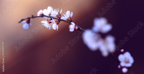 Papel de parede twig blossoming cherry in the sun