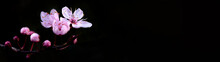 Spring Flower Banner Panorama - Pink Beautiful Blooming Cherry Blossoms Isolated On Black Dark Background, With Space For Text