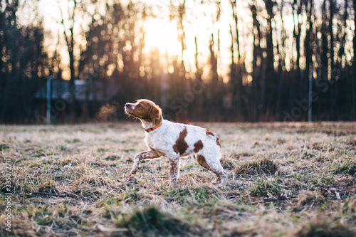Obraz Brittany (dog) name Belka - fototapety do salonu