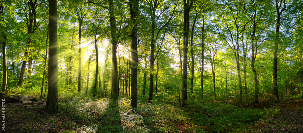 Fototapeta Panorama of a green forest of deciduous trees with the sun casting its rays of light through the foliage