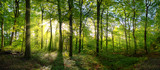 Fototapeta  - Panorama of a green forest of deciduous trees with the sun casting its rays of light through the foliage