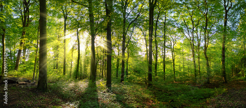 Fototapeta Panorama of a green forest of deciduous trees with the sun casting its rays of light through the foliage  obraz