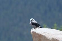 Mountain Bird Sitting On Rock ...