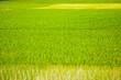 Leinwandbild Motiv green rice field