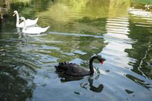 Bird, Water, Lake, Goose, Swan...