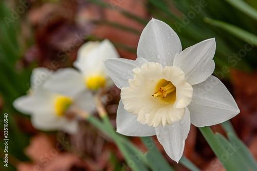 Vászonkép White daffodils