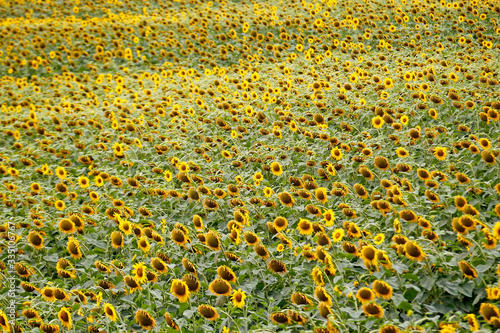 A field of sunflowers in Tuscany near Montepulciano, Italy.