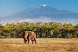 Fototapeta Sawanna - Elephant and Kilimanjaro
