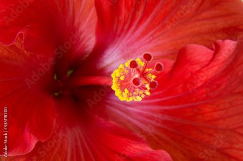Red Hibiscus Flower Macro and Details Wallpaper Mural
