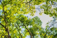 Galhos Com Folhas Verdes Estampadas Em Céu Azul Vista Por Baixo Copa De Arvore