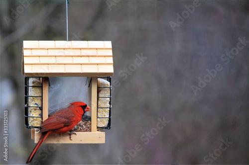 Cardinal at Bird Feeder Canvas Print