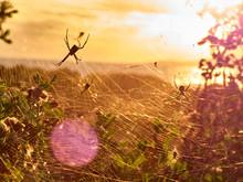 Argiope Argentata At Sunset In...