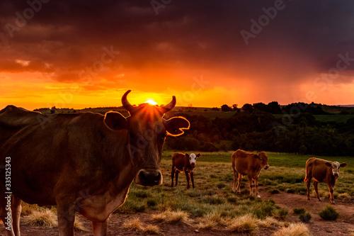 Fotomural Vaca ao pôr do sol, raio luminoso passando por seus chifres, vaca no entardecer
