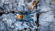 Blue Tarantula Sitting On The Corkbark