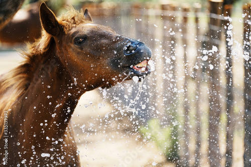 Valokuvatapetti Young brown horse close up shows foal playing in water making funny face