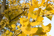 Ginkgo Biloba Tree And Yellow Leaves. Photographed On A Sunny Day. Close Up.