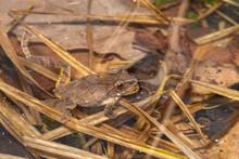 Spring Peeper Floating In A Breeding Pond - Pseudacris Crucifer