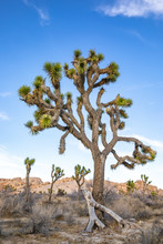 Joshua Trees In The Deserts Of...