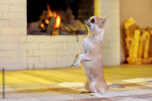 Chinhuahua staying on hind legs against fireplace Fototapet