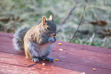 A Gray Squirrel Is Eating Corn At Early Sprint
