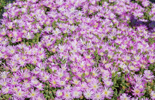 A Purple Or Rosea Ice Plant A Perennial Evergreen Succulent In The Sedum Family Of Flowers In Bloom In Italy