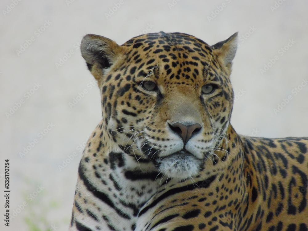 Fototapeta felino salvaje