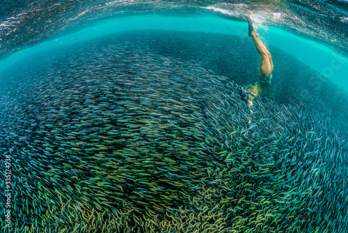 Diver swimming into a huge bait ball of small fish in clear turquoise water Canvas Print
