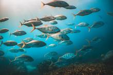 Schooling Pelagic Fish In Clea...