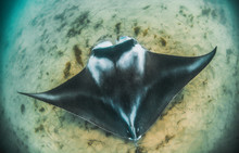 Manta Ray Swimming In The Wild...