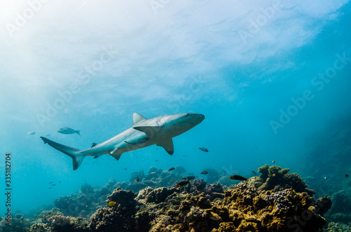 Photo Grey reef sharks swimming over hard coral reef