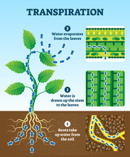 Transpiration Vector Illustrat...