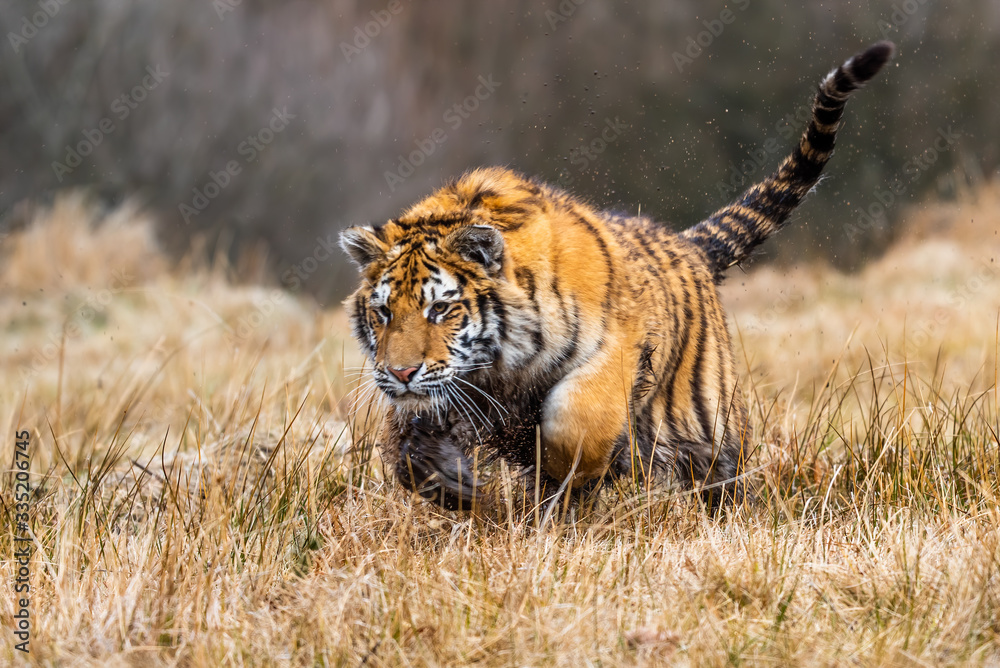 Fototapeta A Siberian tiger (Panthera tigris) a beautiful portrait of a great tiger set in a typical setting for this amazing animal by a Russian taiga.