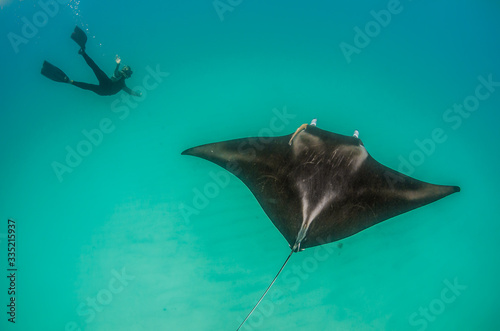 Fotografie, Obraz Manta ray swimming, with a diver swimming nearby
