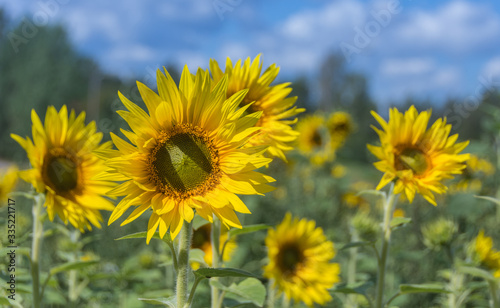 Fototapety, obrazy: Yellow sunflowers blooming in the field in summer