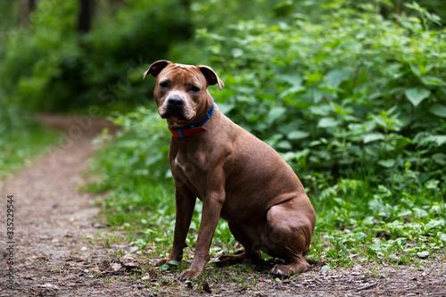 Stampa su Tela Adorable red dog walks outdoor at summer