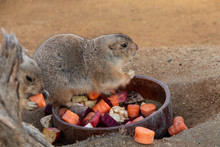 Black Tailed Prairie Dog (Cyno...