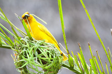 Weaving Bird (golden Palm Weaver - Ploceus Bojeri) Is Building A New Nest, Africa